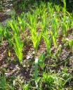tulips beforeV-day