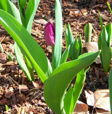 Tulip 2 daysbefore