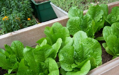 My lettuce bed–in March!