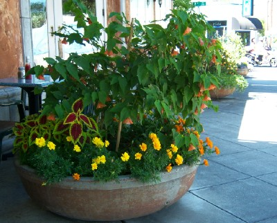 One of 5 flower pots--Chinese Lanterns and Marigolds