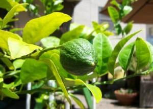 First lemon